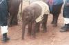 15-nairobi-elephant-sanctuary-our-adopted-baby-elephant
